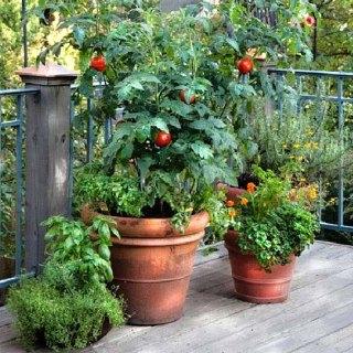 Jak pěstovat rajčata v pytlích